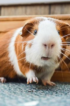 This guinea pig looks like our Claire. Love the snout and lips!! :) ♥️