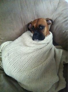 Boxer dogs like to be wrapped up in blankies. This is so true. Love this looks just like my boxer dog names Barney and max ! Boxer Puppies, Cute Puppies, Chihuahua, Cute Dogs, Dogs And Puppies, Doggies, Boxer And Baby, Boxer Love, Baby Dogs