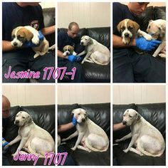 11/17/16-Smith County Tyler TX Jenny & Jasmine 1707, 1707-1 Terrier mix Female Wht blk 2 yrs 56 lbs St. Benard / Terrier Female 6 weeks 8 lbs Wht brn blk Cr 492 No chips https://docs.google.com/…/1GyuqfYsljTPBnM8I6VoTcc…/viewform… Individuals wishing to adopt please fill out the form above. Please only fill out if you are serious about adopting.