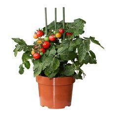 LYCOPERSICON ESCULENTUM TOMATO Roślina doniczkowa IKEA Udekoruj swoje wnętrze roślinami oraz doniczkami pasującymi do Twojego stylu.