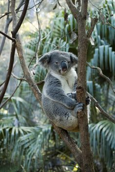 Koala, Cremorne Point, Sydney, New South Wales by Chris Ruggles
