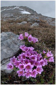 Saxifraga oppositifolia, fiori di montagna, alpini, fotografia, foto, alpine flowers, alpi liguri