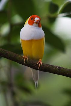 Lady Gouldian Finch, Gould's Finch or the Rainbow Finch, is a colourful passerine bird endemic to Australia. Kinds Of Birds, All Birds, Little Birds, Love Birds, Pretty Birds, Beautiful Birds, Animals Beautiful, Exotic Birds, Colorful Birds