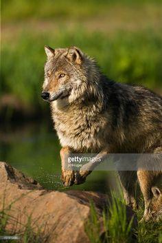 Konzentriert gray wolf in Bewegung.