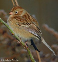 Field Sparrow — Birds of North America Online