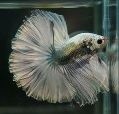 Types of Betta Fish - There are lots of different types of betta fish and this article covers them in detail including breeds, patterns, colors, tail differentiation and more. Betta Fish Types, Betta Fish Care, Different Types Of Animals, Pretty Fish, Betta Tank, Fishing World, Beta Fish, Siamese Fighting Fish, Pisces