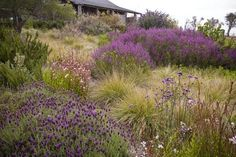 """Gauras, lavenders, salvias, and verbenas lead the way in this drought tolerant meadow at a private residence in Santa Cruz, California."""