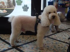 Chicco barbone medio a fashion dog di patrizia a San Nicolò Pc