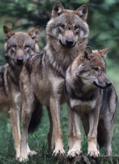 The wolves have a pack and so do I. Lol.
