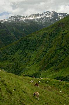 Swiss Cattle - Uri, Switzerland