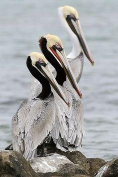 Three pelicans sit on rocks, off Shamrock Island near Aransas Pass, Texas.