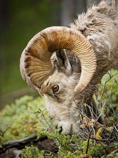 Bighorn Sheep (Ovis canadensis) by ER Post on Flickr.