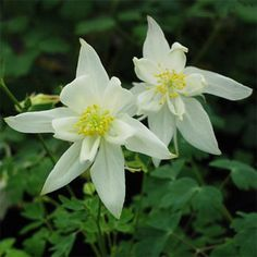Aquilegia Caerulea Crystal Star Season: Perennial USDA Zones: 3 - 9 Height: 32 inches Bloom Season: Spring and early summer Bloom Color: White Environment: Full sun to partial shade Soil Type: Rich, well-drained, pH 5.8 - 7.2 Deer Resistant: Yes