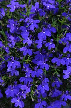 Lobelia erinus Magadi Basket Dark Blue | Lucas Greenhouses