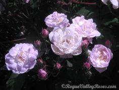 """""""Blush Noisette"""" Rose (1819)"""