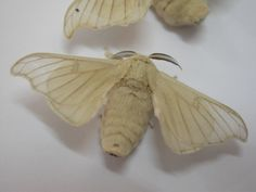 Silk worm moth. This thing is insane looking.