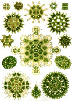 Ernst Haeckel. Biologist. Zoologist. Artist. Irregular symmetry dominates his work.