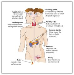 The endocrine system is composed of endocrine glands and specialised endocrine cells located throughout the body. Endocrine glands secrete minute amounts of chemical messengers called hormones into the bloodstream, rather than into a duct.  Hormones then travel a distance from their source through the bloodstream to specific sites called target tissues or effectors, where they produce a coordinated response of the target tissues.