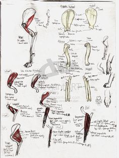 Dog_forelimb_study_by_unlobogris.jpg (775×1030)