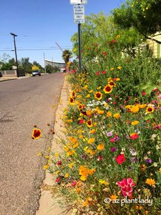 A parking strip transformed by #flower seeds in #downtown #Phoenix.