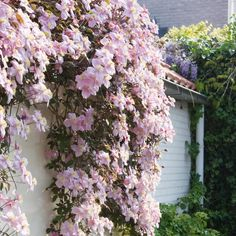 Clematis 'Mayleen' produces a mass of huge, single, strikingly light pink flowers in the spring time. A lovely romantic climber to enjoy in the garden. Clematis Varieties, Clematis Plants, Clematis Vine, Garden Plants, Climbing Clematis, White Clematis, Climbing Roses, House Plants, Flower Trellis