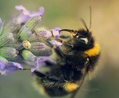 Beeutiful Lavender by dandelion-field.deviantart.com on @DeviantArt