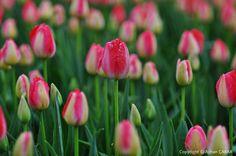 Springtime Tulips of Istanbul