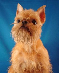 "The intelligent and cheerful Brussels Griffon has a terrier-like disposition and is known for his almost human expression. This affectionate breed comes in a variety of colors, including red, belge (black and reddish brown), black and tan, or black. This breed makes a good watchdog and can be taught to perform a variety of tricks. A Brussels Griffon was featured in 1997's hit, ""As Good As It Gets"", starring Jack Nicholson and Helen Hunt."