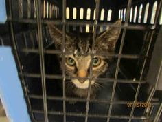 This CAT - ID#A148458  I am a gray tabby Domestic Shorthair.  The shelter thinks I am about 3 months old.  I have been at the shelter since Jul 20, 2013.
