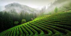 Green Tea Field - 봄이 그리워서 올려보는 녹차밭  Miss spring....