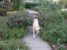 sidewalk landscape (lots of garden photos on this blog)