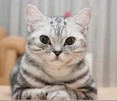 British Shorthair Cats | British Shorthair Cat Breed Info & Pictures | petMD