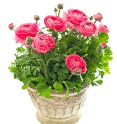 Beautiful pink ranunculus plant in pot stock photo Bulb Flowers, Flower Pots, Summer Flowers, Colorful Flowers, Online Plant Nursery, Pot Image, Summer Bulbs, White Background Images, Container Flowers