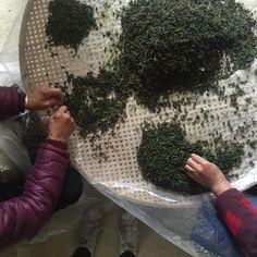 Sorting Tie Guan Yin in Jishan village [OC] http://ift.tt/2Gh2QLK