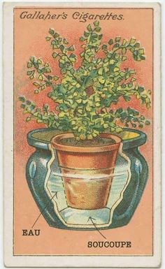 How to grow maidenhair ferns. Cards from the Early To see more art and information about these illustrations click the image.