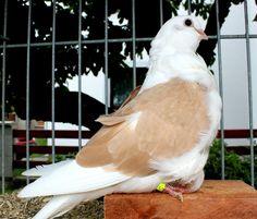 Chinese owl pigeon 0.1 yellow shield 2017