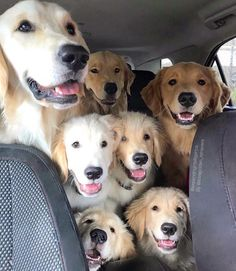 Astonishing Everything You Ever Wanted to Know about Golden Retrievers Ideas. Glorious Everything You Ever Wanted to Know about Golden Retrievers Ideas. Golden Retrievers, Perros Golden Retriever, Cute Puppies, Cute Dogs, Dogs And Puppies, Doggies, Maltese Puppies, Boxer Dogs, Chien Golden Retriver
