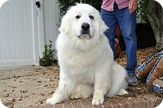 5/1/14 Winston-Salem, NC - Great Pyrenees. Meet Tay a Dog for Adoption.