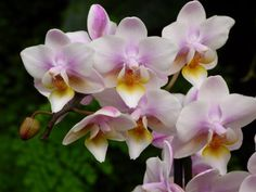 Phalaenopsis Fragrance Tricolor