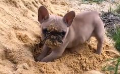 Daily Cute: Uggy the French Bulldog Plays in the Sand-video