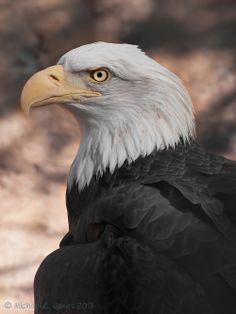 Bald Eagle by Michael Jones - http://ift.tt/1cluqm2