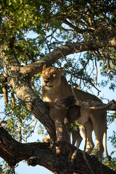 mhangeni lioness in tree, feb 2016, NK