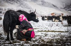 Nomad woman milking a yak on the grasslands of Sichuan, China.