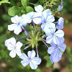 Beautiful blue. - #flower #flowers #flowerstagram #floweroftheday #flowersofinstagram #inbloom #bloom #pretty #gorgeous - #garden #mygarden #gardening #gardenlife #gardendesign #urbangardening #instagarden #nature #plants #organic #green #greenthumb #growyourown #homegrown - #florida #southflorida #floridalife #rainbowsendgarden - #photography #picoftheday