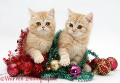 Ginger kittens with Christmas tinsel and baubles.