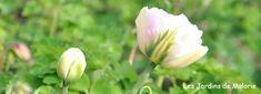 """Résultat de recherche d'images pour """"tulipe double"""""""