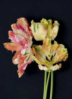 ˚Apricot Parrot Tulips