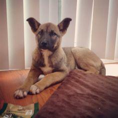 My puppy is cuter than yours! Husky/German shepherd/ Akita mix