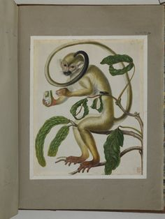 A monkey sitting on the branch of a tree, eating fruit, from an album entitled 'Merian's Drawings of Surinam Insects c'; a beetle on one of the branches Watercolour, with bodycolour, heightened with white, on vellum. Drawn by: Maria Sibylla Merian. School/styleGerman. Date1701-1705 (circa).