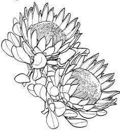 Protea Flower Drawing Sketch Coloring Page Protea Art, Flor Protea, Protea Flower, Art Drawings Sketches, Tattoo Drawings, Botanical Art, Botanical Illustration, Plant Drawing, Drawing Flowers